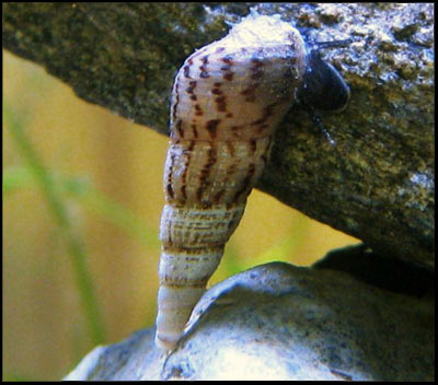 M Trumpet Snails Can't find Malaysian T...